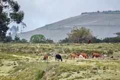 Herd of llamas. At the pre-Colombian ruins of Cochasqui, near Quito, Ecuador royalty free stock images