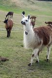 Herd of llamas. At the pre-Colombian ruins of Cochasqui, near Quito, Ecuador stock photo
