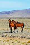 The herd of magnificent bay mustang Stock Photography