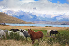 The herd of magnificent horses is grazed Royalty Free Stock Images