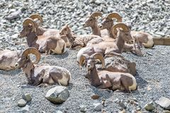 Herd of Male Bighorn Sheep on a mountainside. Herd of Male Bighorn Sheep lying on a mountainside in Yellowstone National Park, Wyoming Royalty Free Stock Image