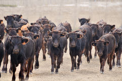A herd of male calves charging Royalty Free Stock Photo