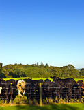 Herd of young bullocks Stock Images