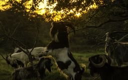 Male goats at sunset. A herd of male goats on pasture at sunset Royalty Free Stock Photo
