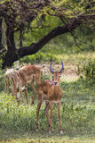 A herd of male impala, Aepyceros melampus, standing in the veget Royalty Free Stock Photos