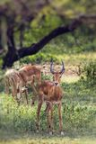 A herd of male impala, Aepyceros melampus, standing in the veget Stock Photo