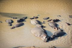Herd of many hippos bathing and sleeping stock photos