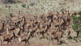 Herd of Many Wild Goats In Wild stock video footage