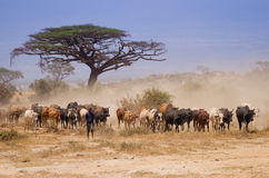 Herd of Masai cows in amboseli kenya Royalty Free Stock Photography