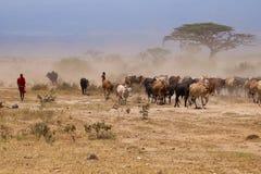 Herd of Masai cows with shepherd  on Kenya savannah Stock Photography