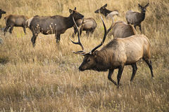Herd Master stock images