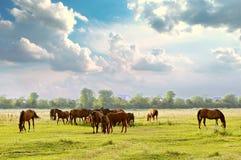 Herd in meadow Stock Photography