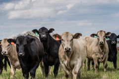 Herd of mixed heifers looking at camera