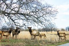 Herd of molting yearling elk eating newly spouted leaves from an overlanging limb in very early spring stock photos