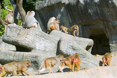 Herd of monkeys. Image or the herd of monkeys Stock Photos