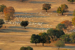 Herd in the morning. A flock of sheep is passing through maple trees in the grassland of Eastern Inner Mongolia, China Fall of 2006 stock photography
