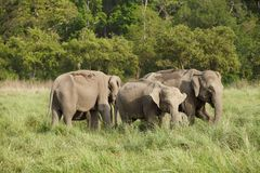 A herd of mother elephants with their babies Royalty Free Stock Image