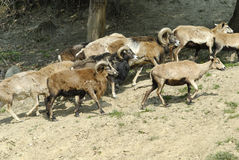 Herd of mouflon Royalty Free Stock Image
