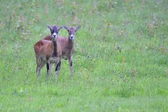 A herd of Mouflon. On a meadow royalty free stock images