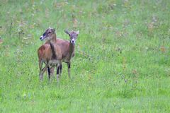 A herd of Mouflon. On a meadow royalty free stock photo