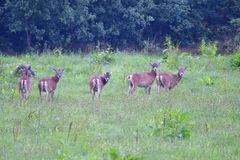 A herd of Mouflon. On a meadow royalty free stock image
