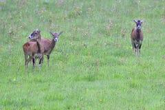 A herd of Mouflon. On a meadow stock photo