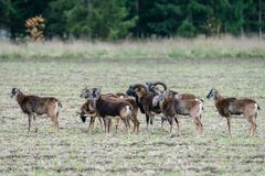 Herd of mouflon sheep standing in a field stock images