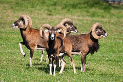 Herd of mouflons Royalty Free Stock Images