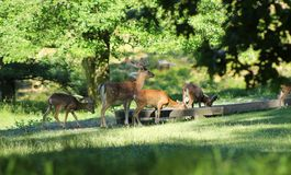 Fallow deer and mouflons stock photography
