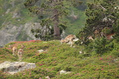 Herd of Mouflons in Pyrenees Royalty Free Stock Images