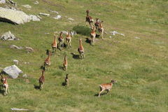 Herd of Mouflons in Pyrenees Royalty Free Stock Photography