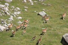 Herd of Mouflons in Pyrenees Stock Photos