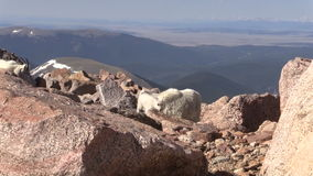 Herd of Mountain Goats. Mountain goats in the Colorado high country stock video