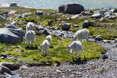 Herd of Mountain goats Stock Photo