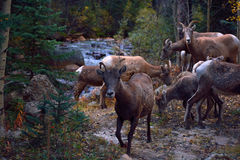 Herd of Mountain Goats by a River. A herd of mountain goats forage by a river Royalty Free Stock Photos