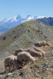 Herd in mountain pasture Stock Photography