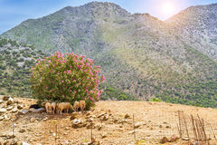 Herd of mountain sheep, Bali village, Greece Stock Images