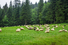 Herd of mountain sheep on the hill Stock Photo