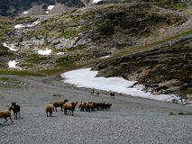 A herd of mountain sheep. A herd of mountain sheep is looking for pasture Stock Photos