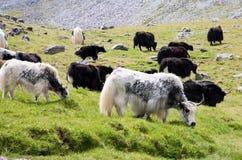 Herd of Mountain yaks Royalty Free Stock Photo