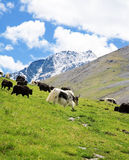 Herd of Mountain yaks Stock Images