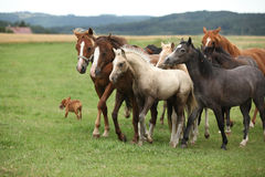 Herd of moving horses. Herd of moving young horses and foals on pasturage royalty free stock image