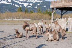 Herd of mule deer Royalty Free Stock Image