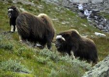 Herd of muskoxen Stock Photography