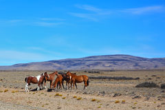 The herd of mustangs grazing in the prairie Stock Photography