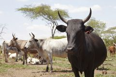 Herd of nguni cattle Stock Images