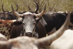 Herd of nguni cattle Stock Photo