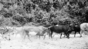 Herd of Nguni Cattle Stock Photo