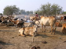 Herd of nilotic cows, Sudan Royalty Free Stock Photo