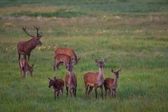 Herd Of Noble Deer  Cervidae  Graze On A Green Meadow With Dandelions. Eight Different Ages Red Deer: One Stag And Seven Females Royalty Free Stock Photo